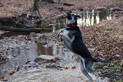 German Shepherd Dogs Photograph - Throwing Stones by David Rucker
