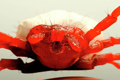 Crustacea Photograph - Tick by Juan Gaertner