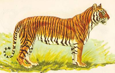 Tiger At Attention Print by Pat Mchale