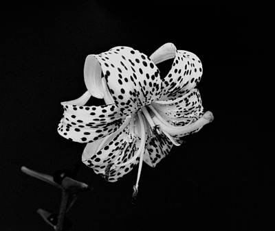 Tiger Lily In Black And White Print by Sandy Keeton