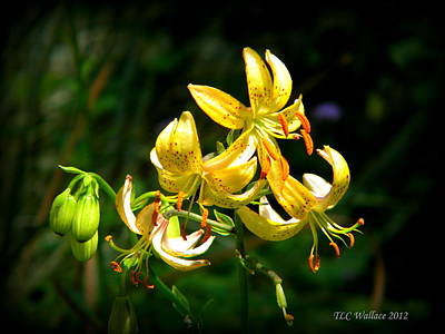 Tiger Lily Print by Tammy Wallace