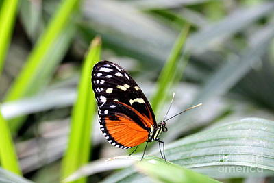 Nature Photograph - Tiger Longwing Butterfly by Amanda Mohler