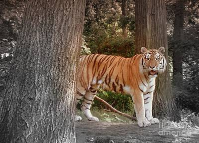 Animals Digital Art - Tiger On Lookout by Anthony Morretta
