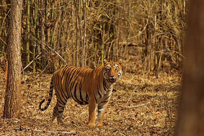 Tiger On The Move In Bamboo Forest Print by Jagdeep Rajput