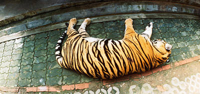 Tiger Panthera Tigris Sleeping Print by Panoramic Images