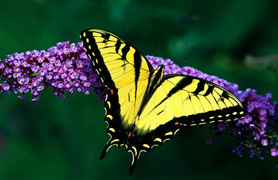 Tiger Swallowtail Butterfly On Blooming Print by Panoramic Images