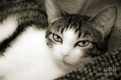 Cat Photograph - Tilly Little Miss Attitude by Andee Design