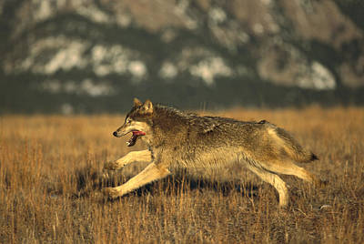 Wolf Photograph - Timber Wolf  Running by Konrad Wothe