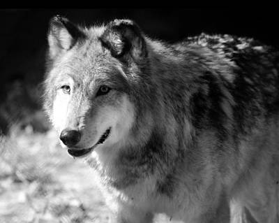 Black. Timber Wolf Photograph - Timber Wolf by Stephanie McDowell