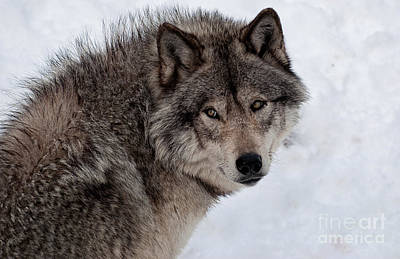 Wolves Photograph - Timberwolf At Rest by Bianca Nadeau