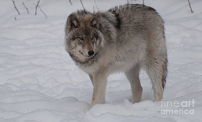 Wolf Photograph - Timberwolf Series 1 by Bianca Nadeau