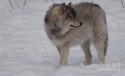 Wolf Photograph - Timberwolf Series 2 by Bianca Nadeau