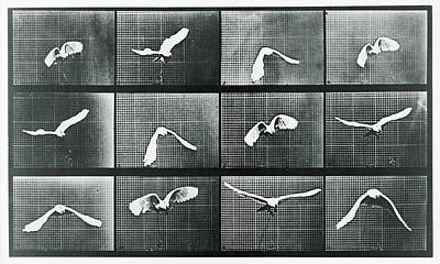 Time Lapse Motion Study Bird Monochrome  Print by Tony Rubino