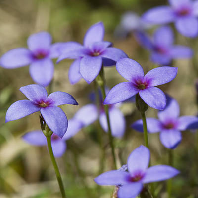 Tiny Bluet Wildflowers Print by Kathy Clark