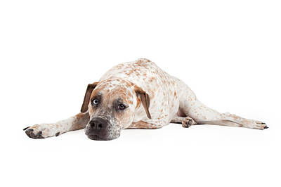 Tired Pointer Crossbreed Laying Print by Susan  Schmitz