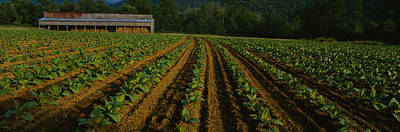 Tobacco Field With A Barn Print by Panoramic Images