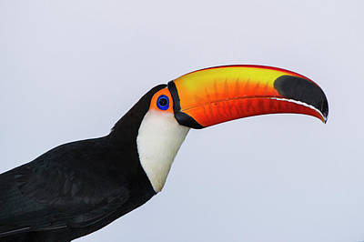 Toucan Photograph - Toco Toucan (ramphastos Toco by Pete Oxford