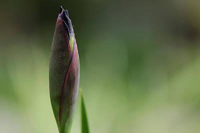 Today A Bud - Purple Iris Print by Debbie Oppermann