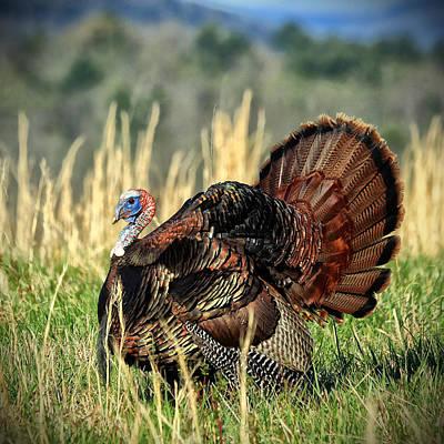 Wild Turkey Photograph - Tom Turkey by Jaki Miller