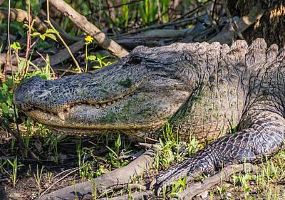 Alligator Bayou Photograph - Too Close by Steve Harrington