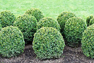 Ornamental Plant Photograph - Topiary Plants by Tom Gowanlock