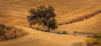 Spanish Landscape Photograph - Torrid Afternoon At Andalusian Field. Olive Tree  by Jenny Rainbow