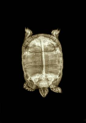 Radiograph Photograph - Tortoise Under X-ray by Photostock-israel