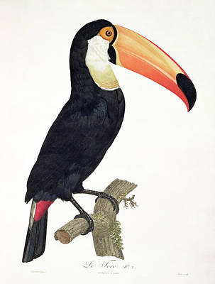 Toucan Drawing - Toucan by Jacques Barraband