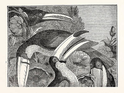 Toucan Drawing - Toucans by English School