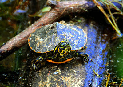 Small Turtle Photograph - Tough Guy by David Lee Thompson