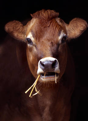 Jersey Cow Photograph - Toupee by Skip Willits