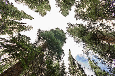 Towering Pine Trees Print by James BO  Insogna
