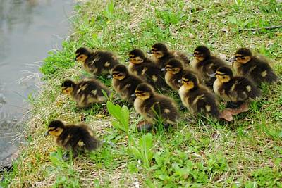 Baby Mallards Photograph - Traffic Jam by Frozen in Time Fine Art Photography