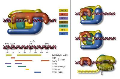 Transcription Initiation Complex Print by Art for Science