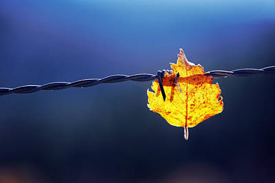 Trapped Leaf On Barbed Wire Print by Mikel Martinez de Osaba