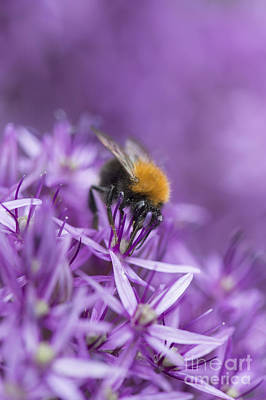 Bumblebees Photograph - The Tree Bumblebee by Tim Gainey