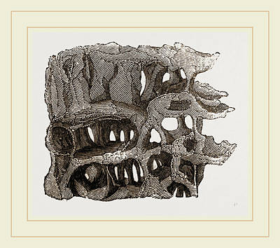 Ant Drawing - Tree Chambered By Wood-ants by Litz Collection