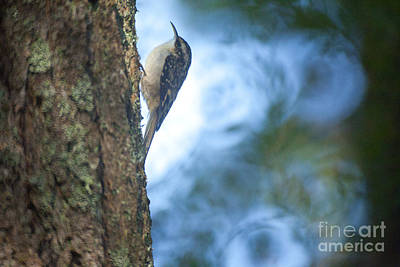 Tree Creeper Print by Graham Foulkes