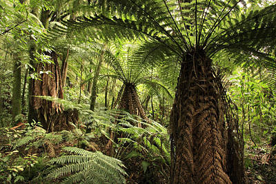 Tree Ferns Print by Les Cunliffe