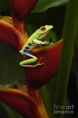 Tree Frog 3 Print by Bob Christopher