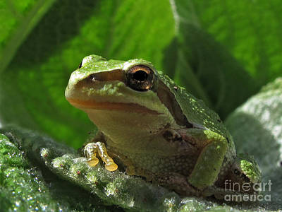 Tree Frog Print by Inge Riis McDonald
