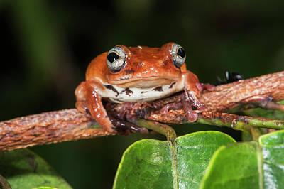 Congo Photograph - Tree Frog, Lango Bai, Congo by Pete Oxford