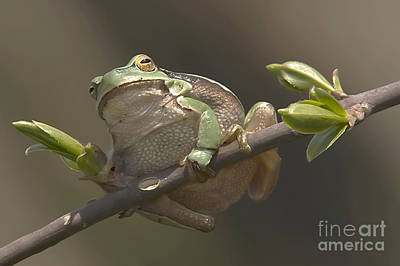 Tree Frog Sitting On The Perch Print by Odon Czintos