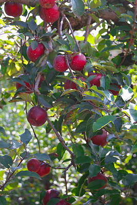 Farm Photograph - Tree Full Of Apples by Cathy Lindsey