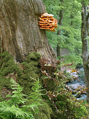 Green And Brown Photograph - Tree Fungus - Chicken Of The Woods by Gill Billington