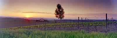 Viniculture Photograph - Tree In A Vineyard, Val Dorcia, Siena by Panoramic Images
