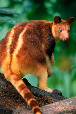 Kangaroo Photograph - Tree Kangaroo by Art Wolfe