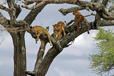 Tree Lions Print by Tony Murtagh