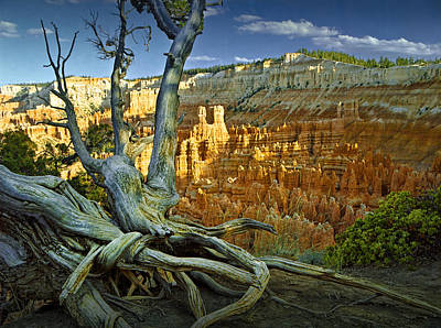 Pinnacle Overlook Photograph - Tree Roots On A Ridge In Bryce Canyon by Randall Nyhof