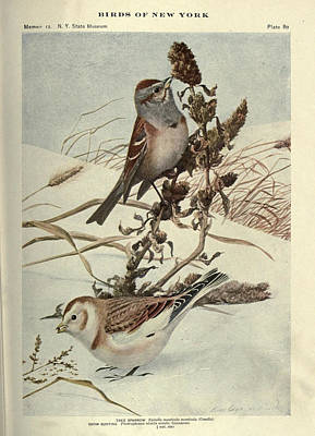 Tree Sparrow And Snow Bunting Print by Philip Ralley